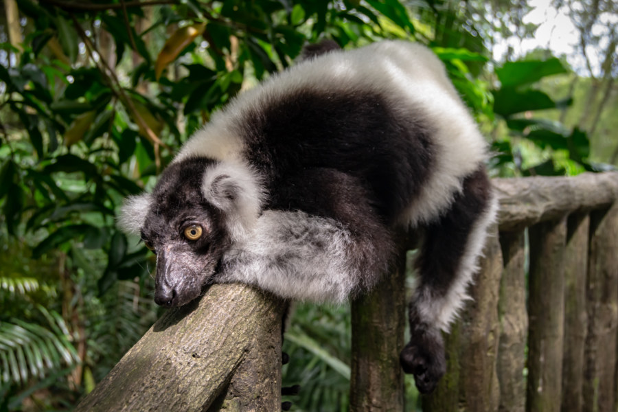 Lazy Black-and-white Ruffed Lemur at Singapore Zoo