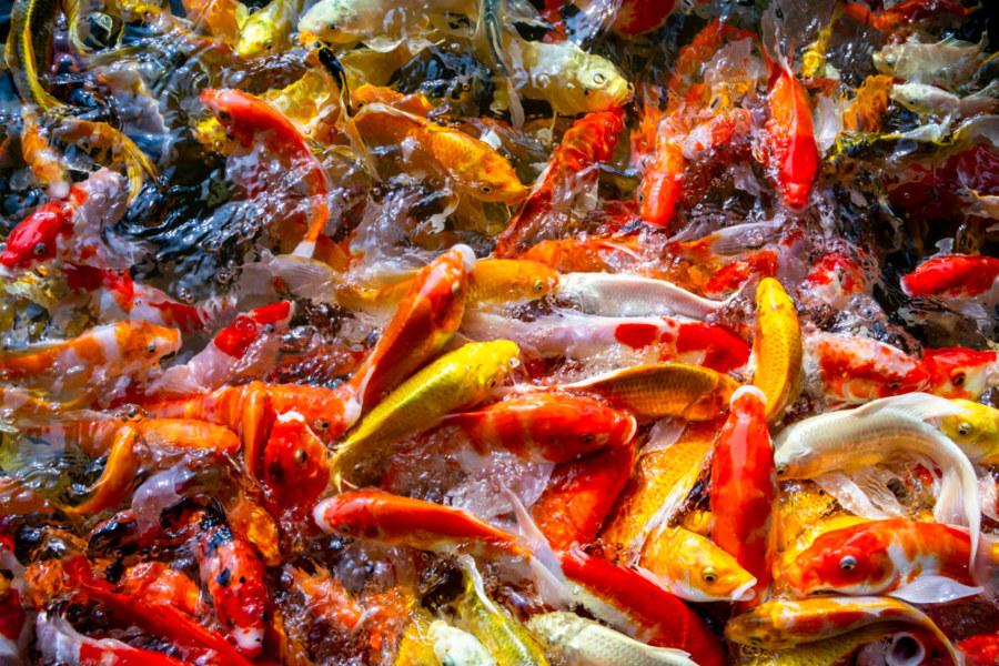 Koi Pond Feeding Frenzy