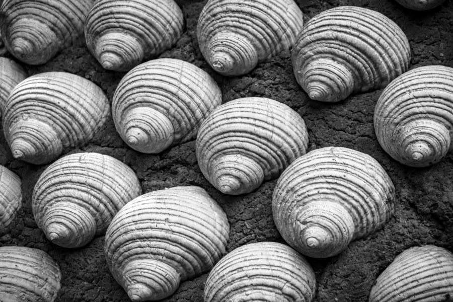 Shells Embedded in Hengchun Sandstone