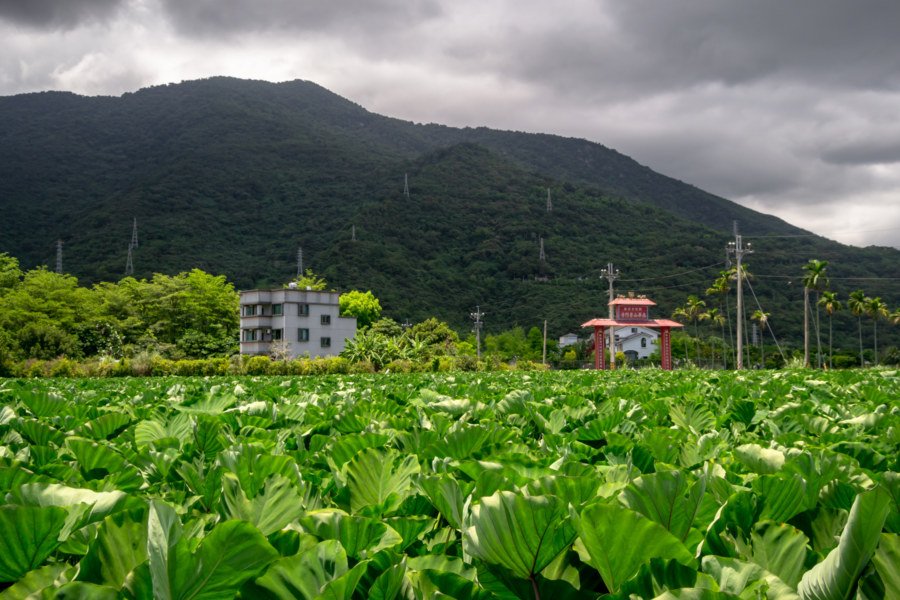 Taro Fields in the Huadong Valley