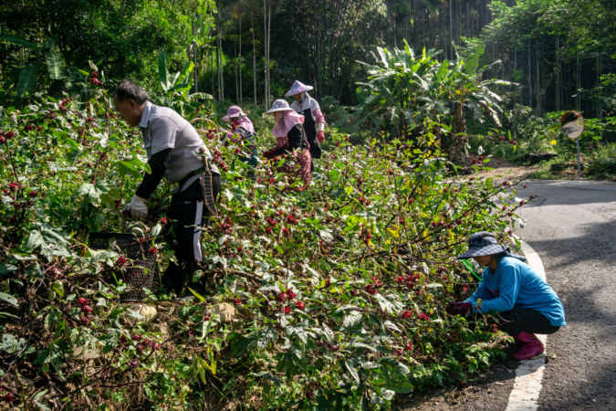 Harvesting Roselles by the Roadside in Xinyi Township