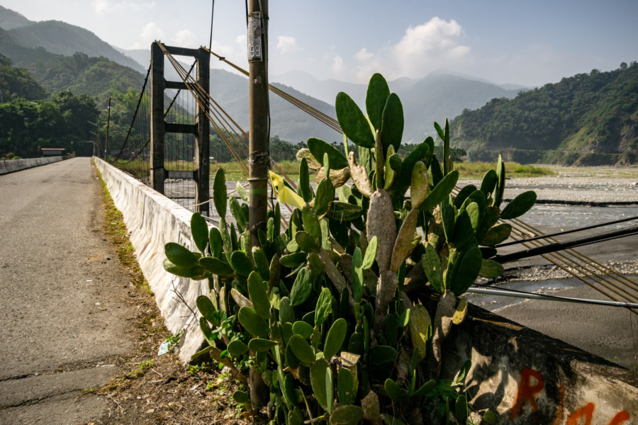 Cactus by the Bridge