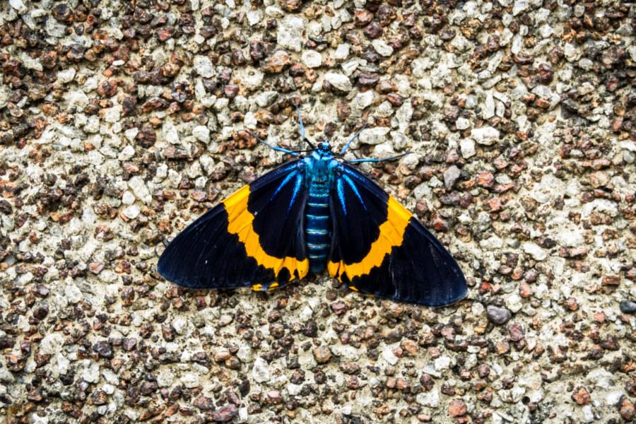 Taiwan's only geometrid moth