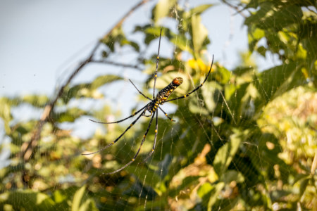 Another golden orb-weaver in the afternoon sun