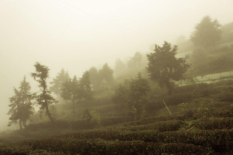 Misty mountain tea farms in Lugu