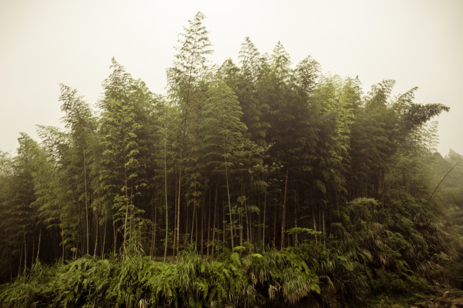 Bamboo forest in the fog