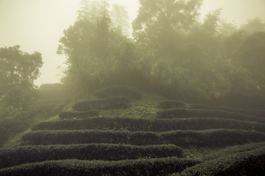 Growing tea in the mountain mist