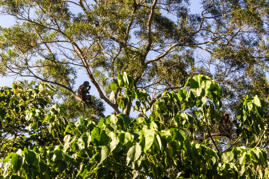 A monkey in the trees of Mudan