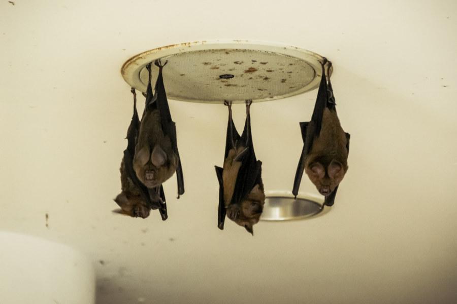 Bats in the basement of the Renoir resort club 雷諾瓦俱樂